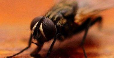 como se reproducen las moscas