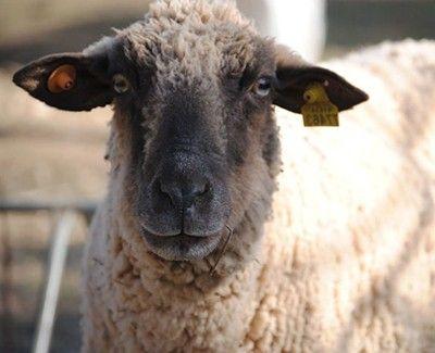 como se reproducen las ovejas