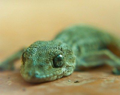 como se reproducen las salamandras
