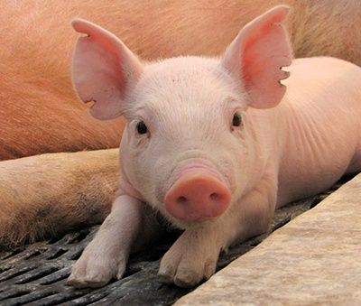 como se reproducen los cerdos