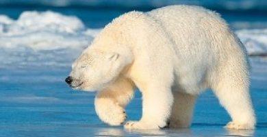 como se reproducen los osos polares