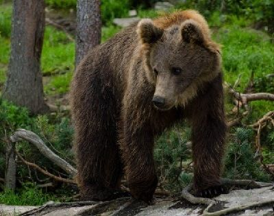 como se reproducen los osos