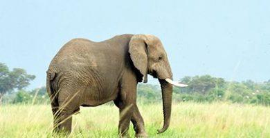 informacion sobre los elefantes