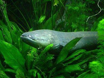 que comen las anguilas