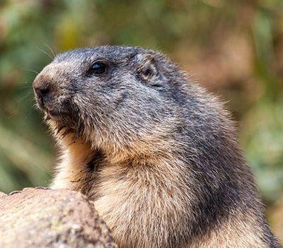 que comen las marmotas