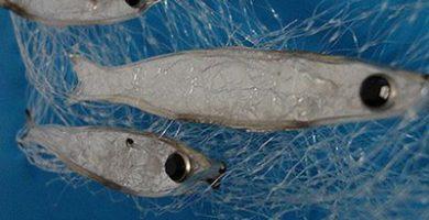 que comen las sardinas