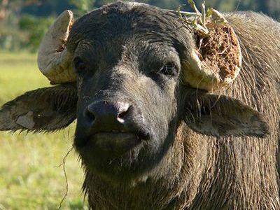 que comen los bufalos