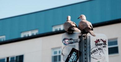 reproduccion palomas