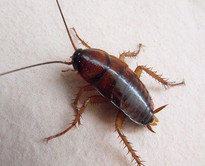como nacen las cucarachas