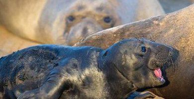 como nacen las focas