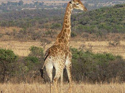 como nacen las jirafas
