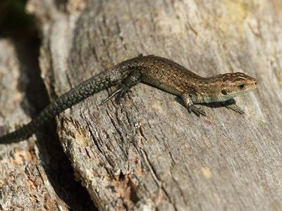 como nacen las lagartijas