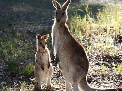 como nacen los canguros