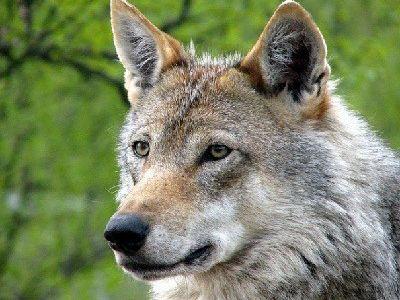 como nacen los lobos