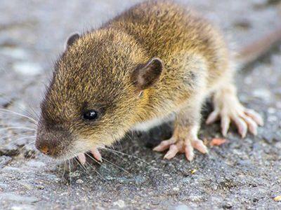 como nacen los ratones
