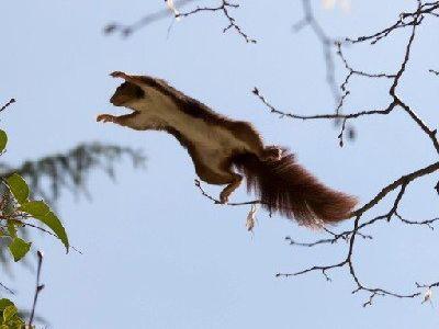 que comen las ardillas voladoras