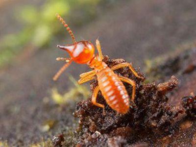 que comen las termitas