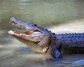 que comen los caimanes