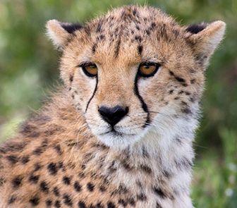 que comen los guepardos