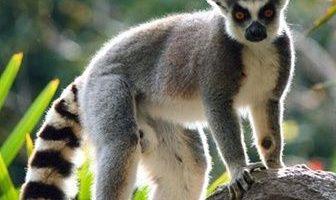 que comen los lemures
