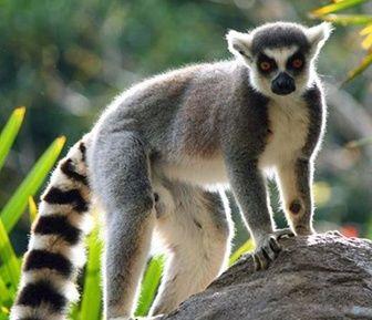 Q Son Los Lemures ¿Que Comen los L&...