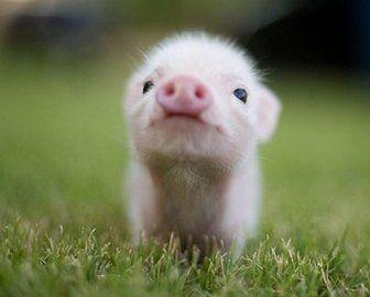 que comen los mini pigs