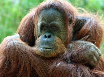 que comen los orangutanes