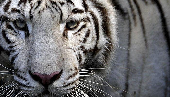 Informacion completa sobre el tigre blanco