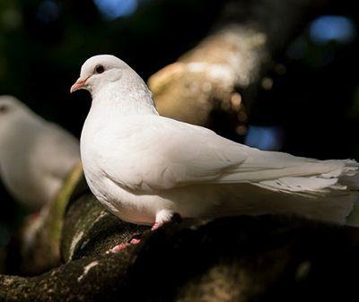 como nacen las palomas