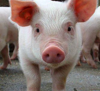 como nacen los cerdos