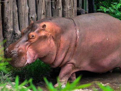 como nacen los hipopotamos