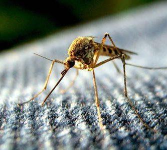 como nacen los mosquitos