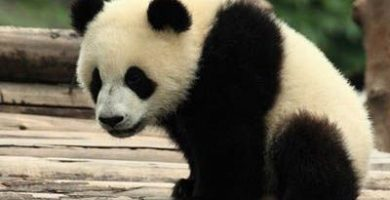 como nacen los pandas