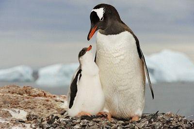 como se reproducen los pinguinos