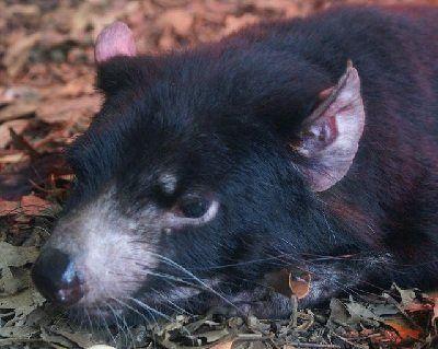 que come el demonio de tasmania