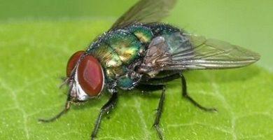 que comen las moscas