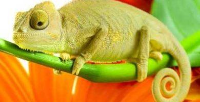 que comen los camaleones
