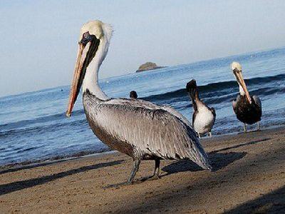 que comen los pelicanos