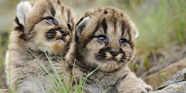 reproduccion de los pumas