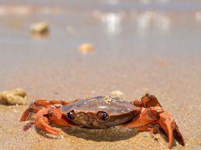 como nacen los cangrejos