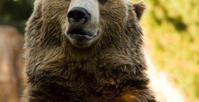 como nacen los osos