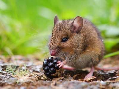 que comen las ratas