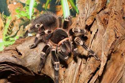 que comen las tarantulas