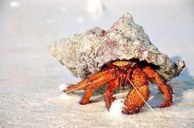 que comen los cangrejos ermitanos