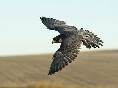 que comen los halcones