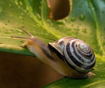 como nacen los caracoles