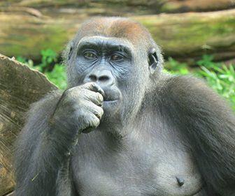 como nacen los gorilas