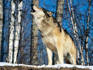habitat del lobo