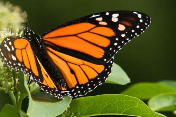 informacion sobre la mariposa monarca