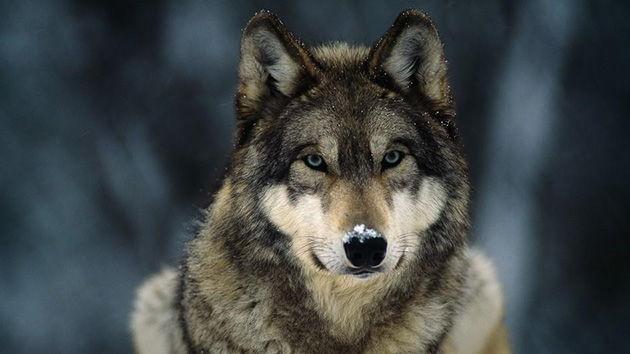 informacion sobre los lobos